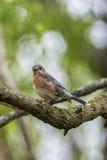 De blauwe vogel van Missouri Royalty-vrije Stock Afbeeldingen