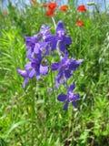 De blauwe wilde bloemen die op het gebied groeien Royalty-vrije Stock Fotografie