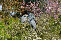 De blauwe zitting van de Reiger op bloeiende cherybomen royalty-vrije stock afbeelding