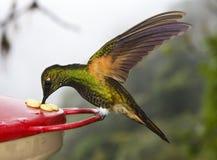 De bleekgeel-de steel verwijderde van Kolibrie van de Kroon - Ecuador stock afbeelding