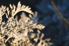 De bleke grijze groene bladeren van Flanel bloeien Actinotus Helianthi in de ochtend, de close-up en de selectieve nadruk royalty-vrije stock fotografie