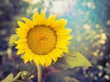 De blije zonnebloem op aardachtergrond, sluit omhoog Royalty-vrije Stock Afbeelding