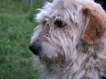 De blik van de oude hond Royalty-vrije Stock Afbeelding