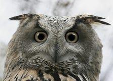 De blik van de uil   Royalty-vrije Stock Afbeelding