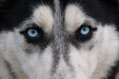 De blik van de wolf Stock Foto's