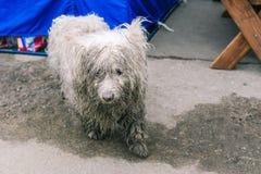De blik van een verdwaalde hond Droevige, eenzame hond op de straat Vuile en natte laag Het dier zoekt zijn eigenaar royalty-vrije stock afbeeldingen