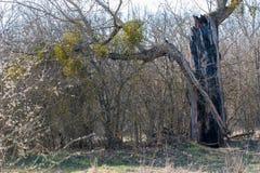 De bliksem sloeg een boom, een verkoolde boom na een onweersbui royalty-vrije stock foto's
