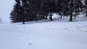 De Blizzard van het sneeuwonweer met Altijdgroene Bomen Sneeuwende Aardscène met Boomgebied Het sneeuw Toneellandschap van het he stock video