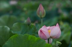 De bloei en de knop van Lotus Stock Foto
