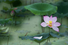 De bloei en de knop van Lotus Stock Afbeelding