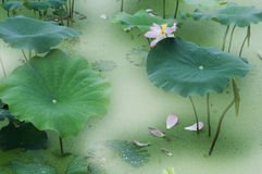 De bloei en de knop van Lotus Stock Fotografie