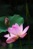 De bloei en de knop van Lotus Royalty-vrije Stock Foto's