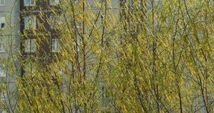 De bloei gele pluizige oorringen van de berkboom stock video