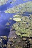 De bloei van algen in water royalty-vrije stock afbeeldingen