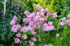 De bloei van Aquilegiabloemen in de tuin Royalty-vrije Stock Foto's
