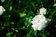 De bloei van de de bloeminstallatie van ijsbergfloribunda Rose Rosa Korbin Stock Afbeeldingen
