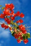 De bloei van bougainvillea Stock Foto's