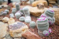 De bloei van cactusbloemen Royalty-vrije Stock Foto