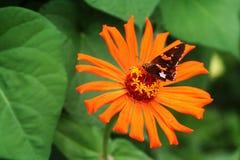 De bloei van cactuszinnia trekt mot met gelijkaardige kleuring aan Stock Afbeelding