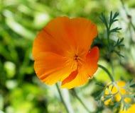 De Bloei van Californië Poppy Or Eschscholzia Californica In Royalty-vrije Stock Foto's