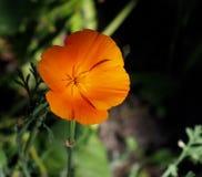 De Bloei van Californië Poppy Or Eschscholzia Californica In Royalty-vrije Stock Foto