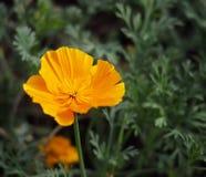 De Bloei van Californië Poppy Or Eschscholzia Californica In Stock Foto