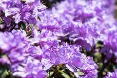 De bloei van close-uprohdodendron Royalty-vrije Stock Afbeeldingen