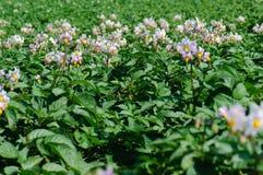 De bloei van de aardappel Royalty-vrije Stock Foto