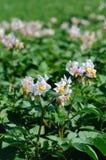 De bloei van de aardappel Royalty-vrije Stock Fotografie