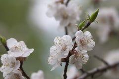 De bloei van de abrikoos Stock Afbeeldingen