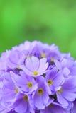 De bloei van de bloem Stock Foto's