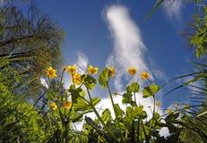 De bloei van de bolbloem op een heldere blauwe hemelachtergrond Stock Afbeelding
