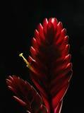 De bloei van de bromelia Stock Afbeeldingen