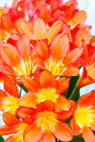 De bloei van de Cliviabloem Royalty-vrije Stock Afbeeldingen