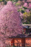 De bloei van de de bloesembloem van Sakura Thailand of van de Kers op de kleine dorpsberg Voor blokhuis in het noorden van Thaila Stock Foto's