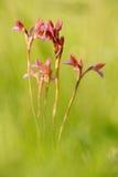 De bloei van de de lentebloem Papilionacea van Orchisanacamptis, die Europese aardse wilde orchidee, aardhabitat, detail bloeien  Stock Foto