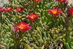 De bloei van de Delospermacactus Royalty-vrije Stock Foto