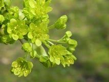 De bloei van de esdoornboom Stock Foto