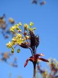 De bloei van de esdoornboom Royalty-vrije Stock Afbeelding