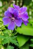 De bloei van de geraniumbloem in de tuin Stock Afbeeldingen