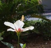 De bloei van de hibiscusbloem in de tuin Stock Foto's