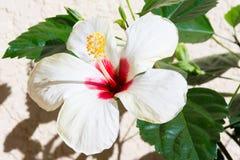 De bloei van de hibiscusbloem in de tuin Stock Afbeeldingen