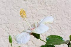 De bloei van de hibiscusbloem van de kant in tuin Stock Foto