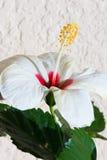 De bloei van de hibiscusbloem van de kant in tuin Royalty-vrije Stock Foto's