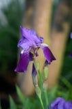 De Bloei van de iris royalty-vrije stock fotografie