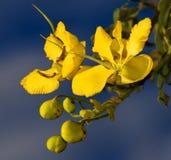 De bloei van de kassieboom Royalty-vrije Stock Foto's