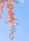 De bloei van de kers. Stock Foto's