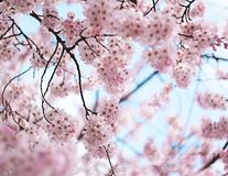De bloei van de kersenbloesem Royalty-vrije Stock Fotografie
