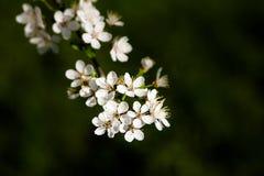 De bloei van de kersenboom Royalty-vrije Stock Foto