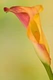 De bloei van de kleur Royalty-vrije Stock Afbeelding